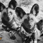 African Wild Dog Photo by Hayden Rattray