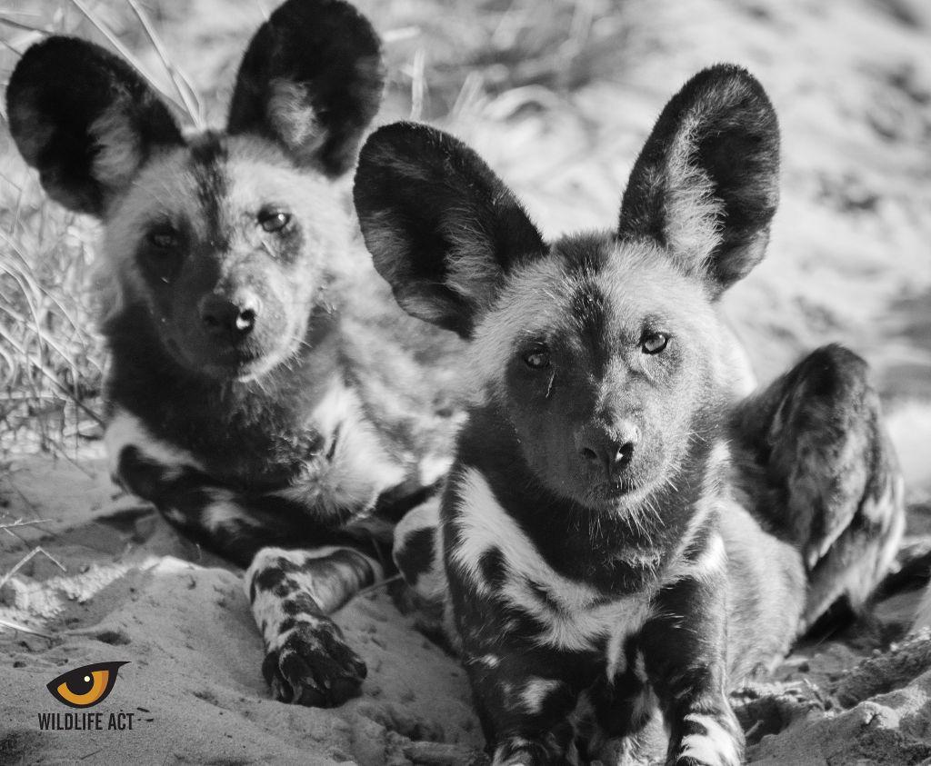 African Wild Dog Photo by Hayden Rattray