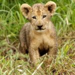 New Lion Cub on Somkhanda Photo by Pippa Orpen