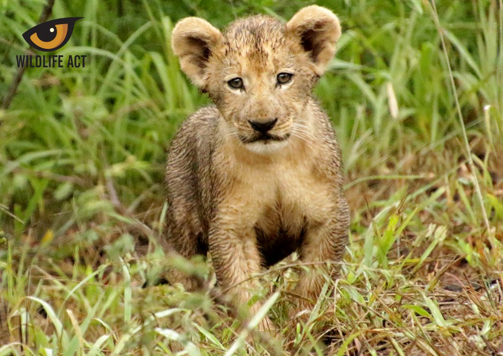 New Lion Cub on Somkhanda Photo by Pippa Orpen