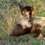 Sue Shearman Wild Dog