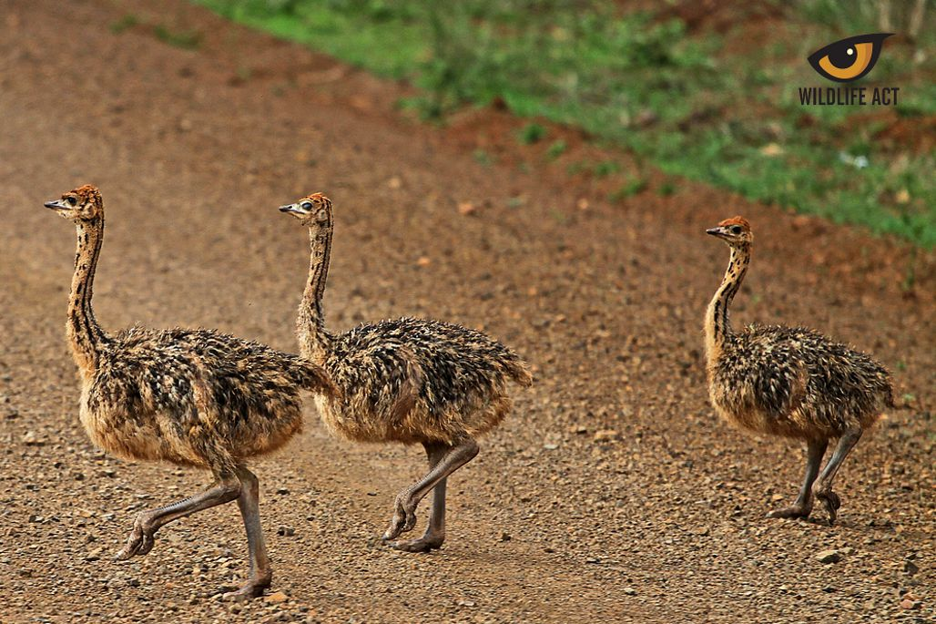 Bird Diversity in Southern Africa - Baby Ostriches