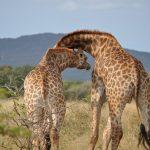 Giraffe Conservation Status