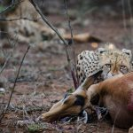 Cheetah on impala kill in uMkhuze (Photo by PJ Roberts)
