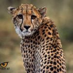 Cheetah (Acinonyx jubatus) - Photo by Hayden Rattray