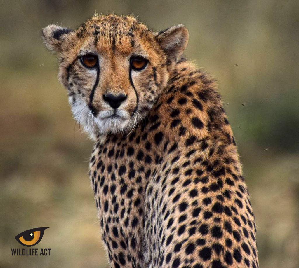 Cheetah (Acinonyx jubatus) - Photo by Hayden Rattray
