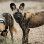 Existing threats to African wildlife species - Wild Dogs