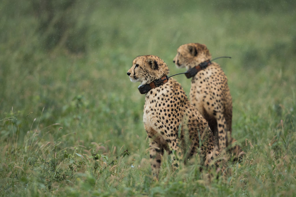 Collared Cheetah Photo by Chantelle Melzer - Volunteering with Wildlife ACT