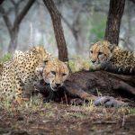 Collared Cheetah on uMkhuze
