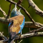 European Roller. Photo by Ryan Mitchell