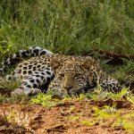 Leopard - Photo by Ryan Mitchell