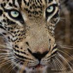 Leopard Photo by Joel Alves