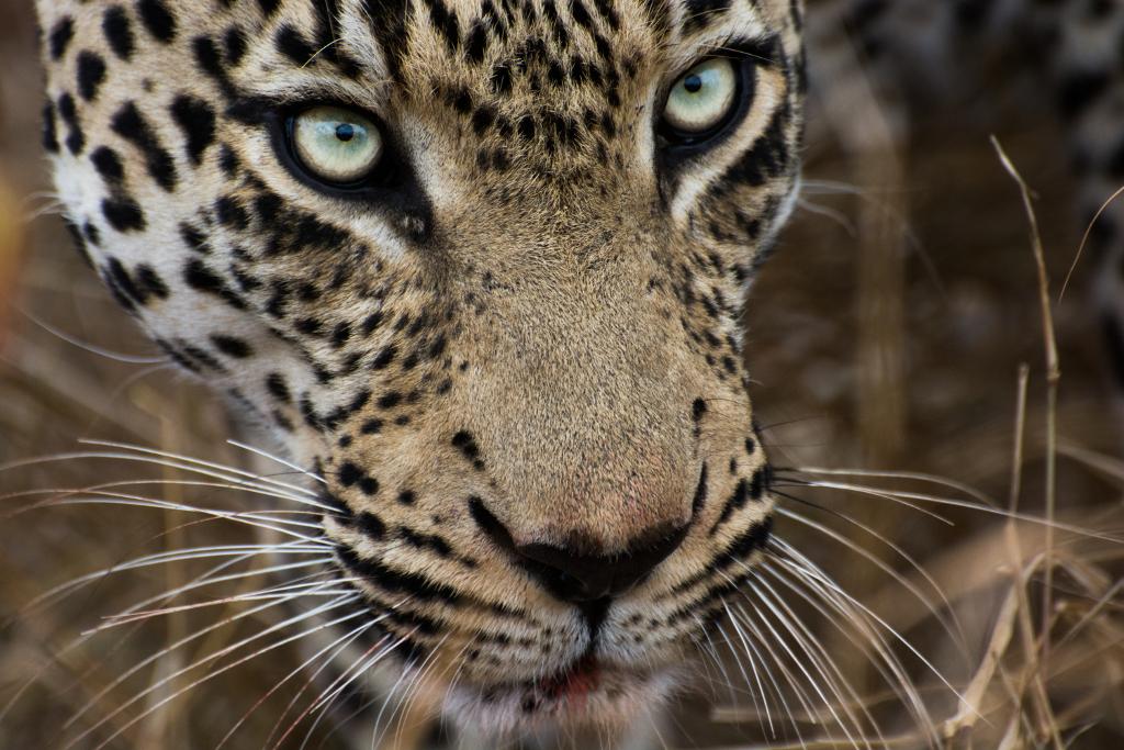 Leopard Photo by Joel Alves