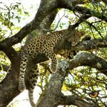 Leopard in a tree. Photo by Hayden Rattray
