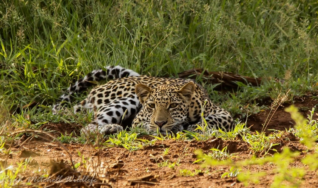 Leopard - Photo by Ryan Mitchell - African Wildlife Photography Opportunities