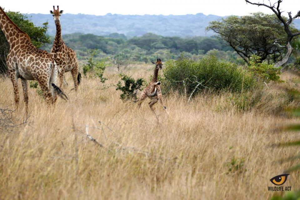 Are giraffe endangered? World Giraffe Day