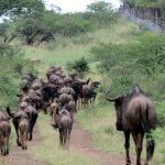 Wildebeest - Photo by Fi Evans