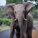 uMkhuze Elephant