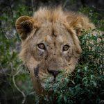 uMkhuze Lion