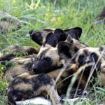 uMkhuze Pups at 5 months old. Photo by Anel Olivier