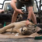 Vet attending to sedated lion. Photo by Chantelle Melzer