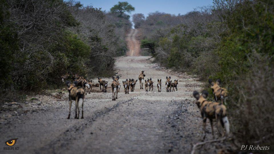 WD2 Wild Dog Puppies at uMkhuze