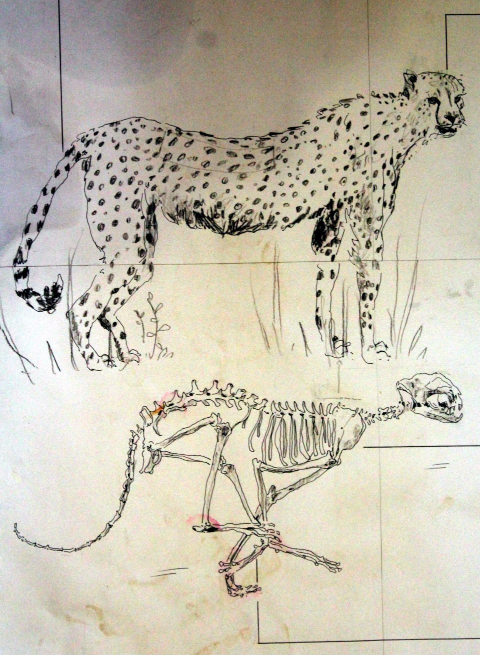 Cheetah and African Wild Dog Anatomy & Hunting - Wildlife ACT