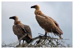 Donate to Vulture Conservation