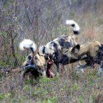 Wild Dog Predator Call Up on Tembe