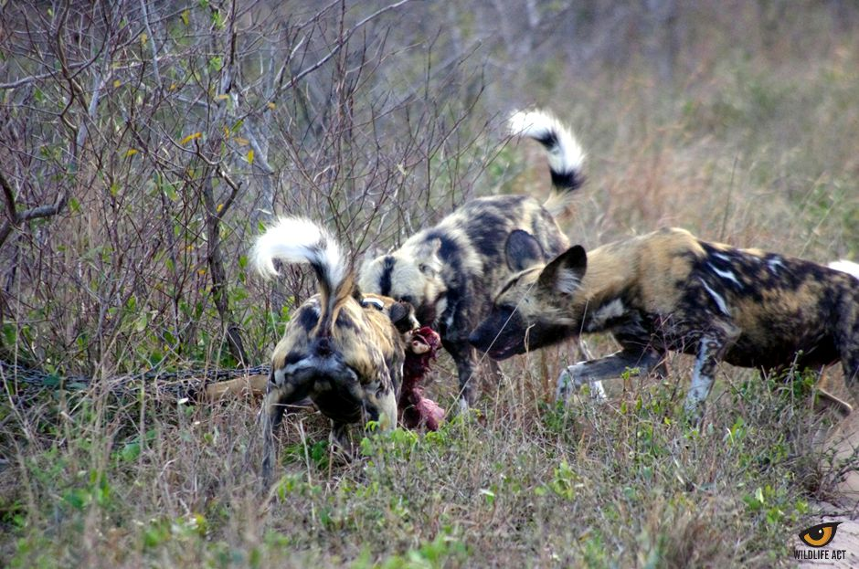 Wild Dog predator call-up on Tembe