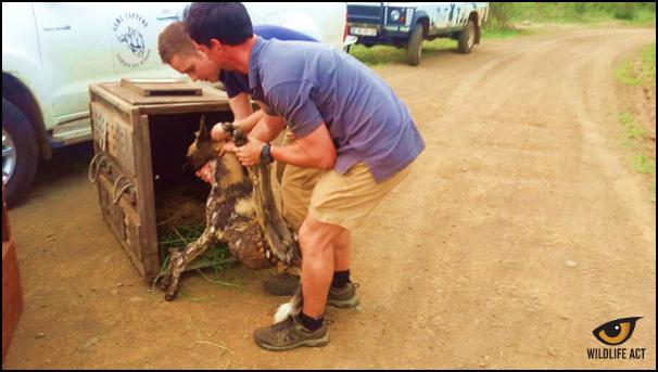 Balule Kruger Park Dogs 1