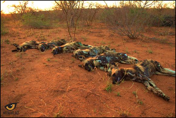 Balule Kruger Park Dogs 3