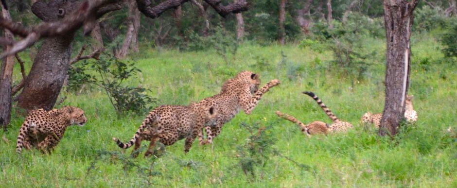 Cheetah Fight between 2 Cheetah Coalitions