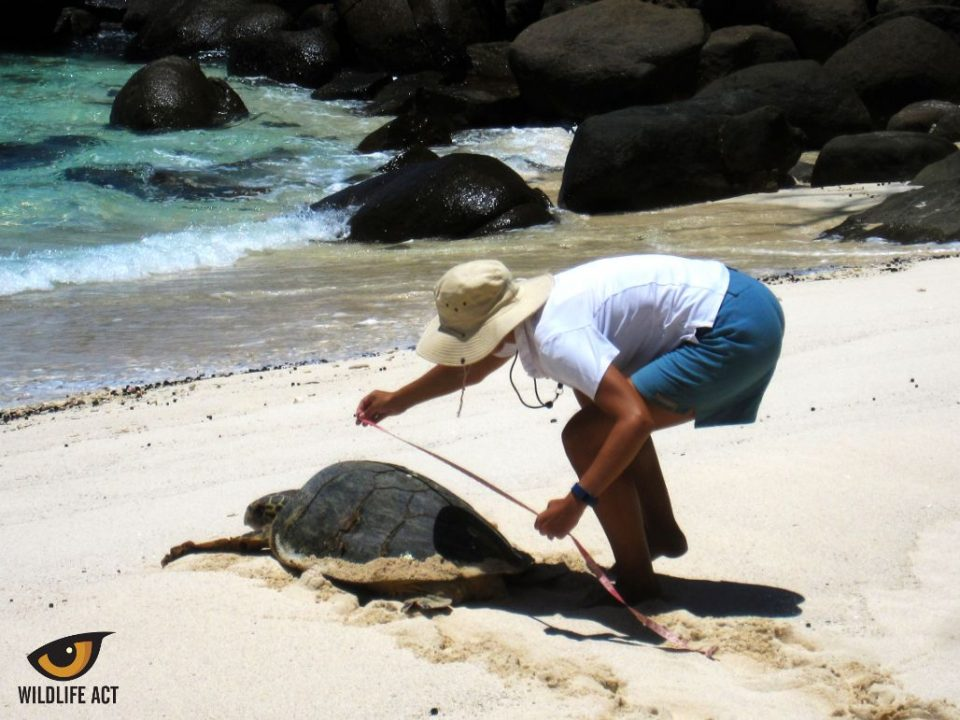 Taking a quick measurement after a Hawksbill Turtle emergence! Endangered Sea Turtle Monitoring