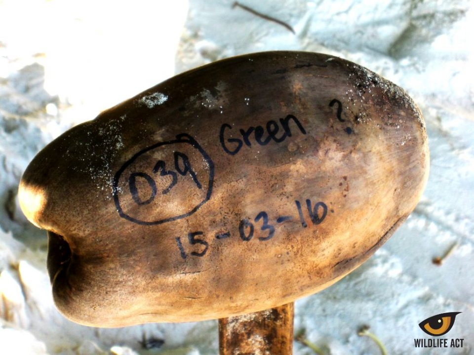 Rebecca Girten Green Turtle Nest - Endangered Sea Turtle Monitoring