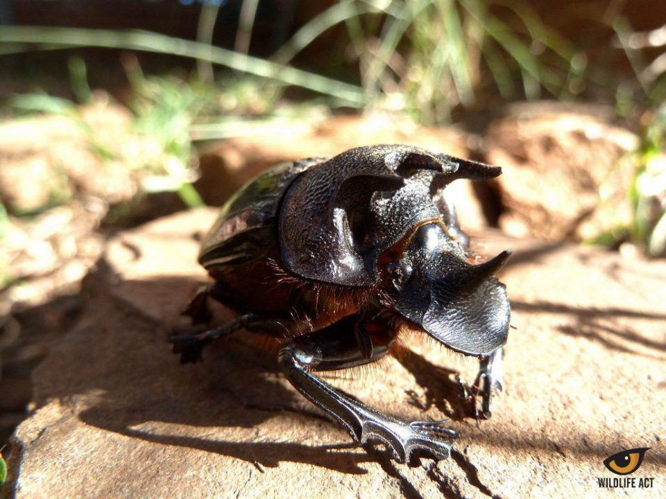 Male Trident Dung Beetle. Photo by Bastian Tiefes