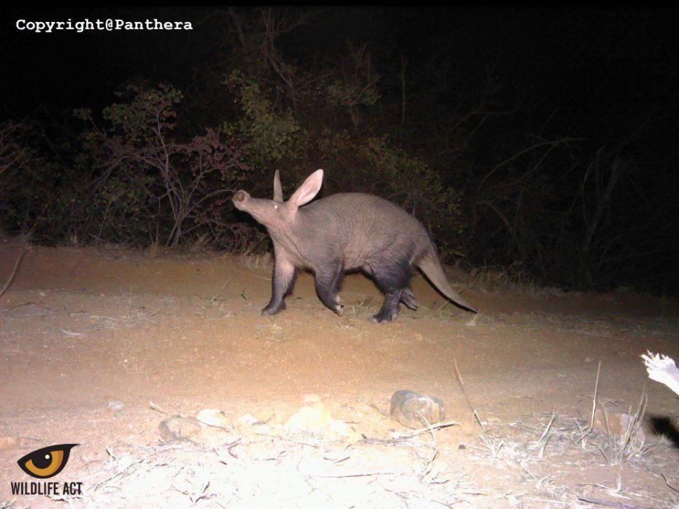 Aardvark Camera Trap