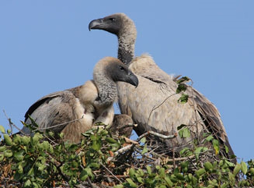 Pair of nesting White backed vultures captured by Johan van Rensburg, Umfolozi Game Reserve, South Africa.