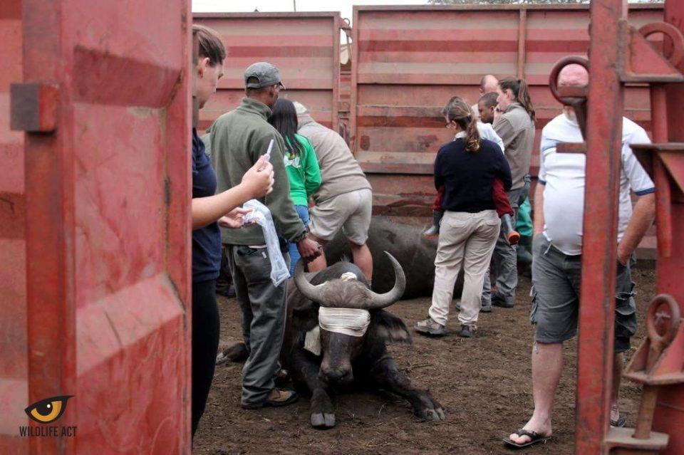 3 Buffalo Tuberculosis Testing at HiP