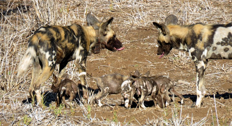 Painted Dog pups emerge from the den. Photo by Megan Hudson