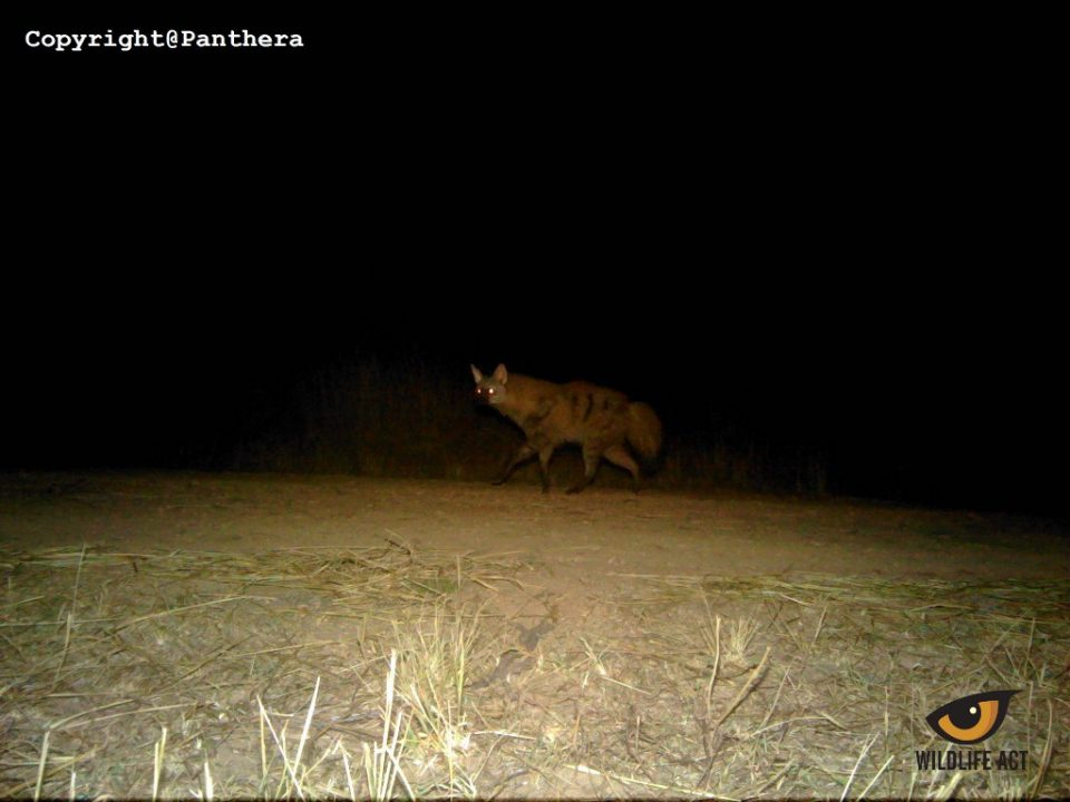 Aardwolf on Ithala Camera Traps August 2017.