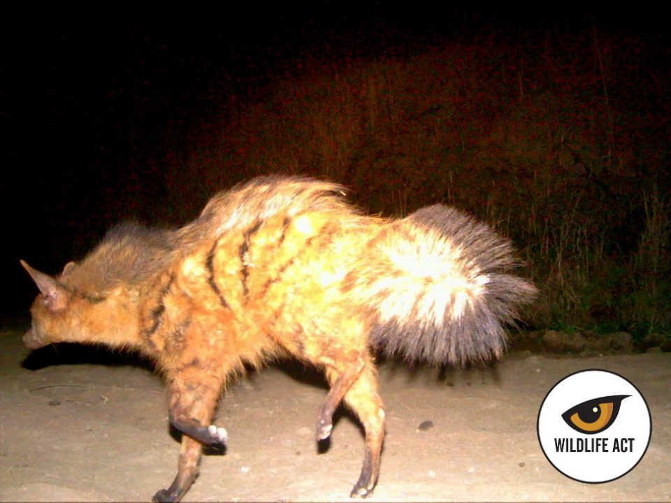Aardwolf Proteles cristata (aard means earth in Afrikaans) is a highly specialised insectivore classified under the Hyaenidae family.