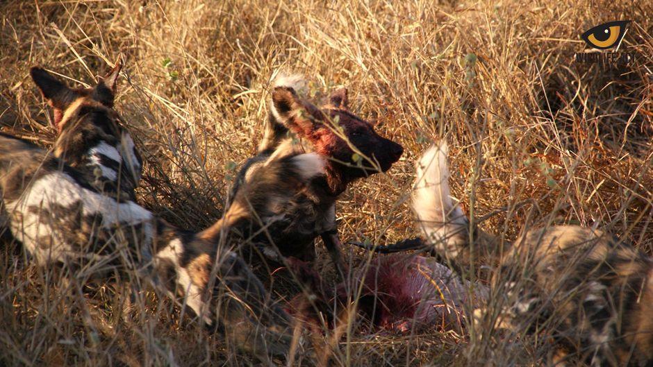 Impala kill on Manyoni during Wild Dog monitoring session
