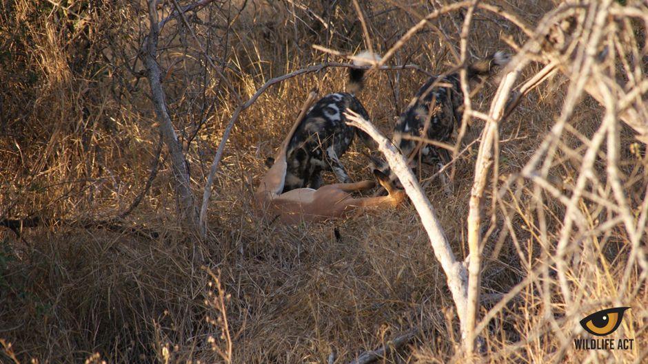 Wild Dog Monitoring on Manyoni Private Game Reserve - Impala kill