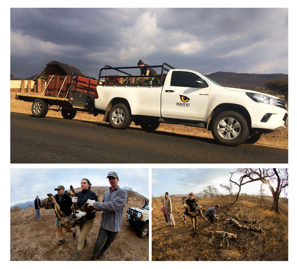 African Wild Dogs Moved to Limpopo. Photos: Pippa Orpen & Máté Bence