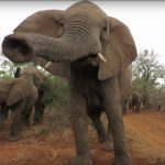 Elephant Breeding Herd Sniffs Us Out