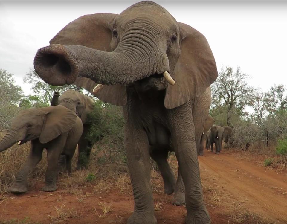 Elephant Breeding Herd Sniffs Us Out