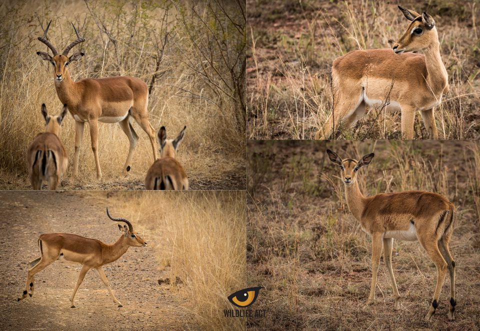 Impala Countershading. All photos by Wildlife ACT Volunteer David Stone