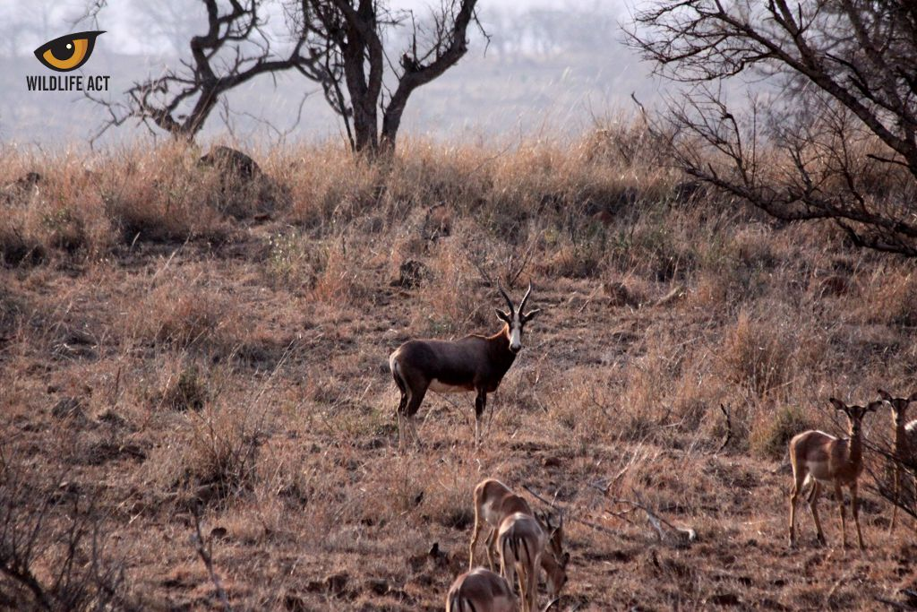 Road Strip Counts on Manyoni 2017 Blesbok