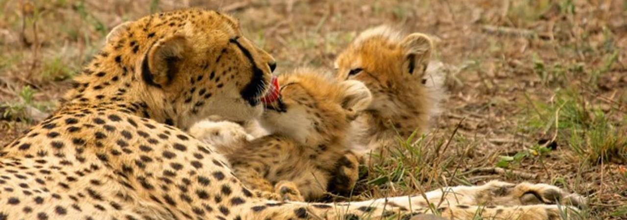 Cheetah Cubs Header